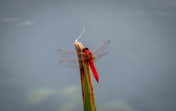 Red Dragonfly. On a green bamboo Royalty Free Stock Photos