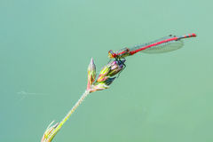 Red dragonfly on a green blade of grass Stock Photo