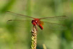 Red Dragonfly. A red dragonfly green bud Stock Photos