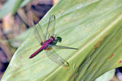 Red dragonfly on the green leaf Royalty Free Stock Photos