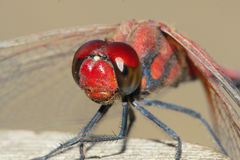 Red dragonfly. The head close-up of red dragonfly. Scientific name: Crocothemis servilia Royalty Free Stock Photography