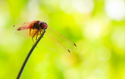 The red dragonfly Stock Photo