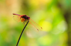 The red dragonfly hold on a branch Stock Image