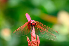 The red dragonfly holds on top of tree Stock Photos