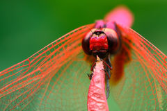 The red dragonfly holds on top of tree Royalty Free Stock Images
