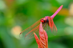 The red dragonfly holds on top of tree Royalty Free Stock Photo