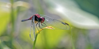 Red dragonfly inn in the green leaf Royalty Free Stock Photos