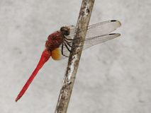 Red Dragonfly. A dragonfly is an insect belonging to the order Odonata, infraorder Anisoptera. Adult dragonflies are characterized by large, multifaceted eyes royalty free stock images