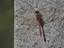 Red dragonfly insect landed on marble corner. Last summer days red dragonfly insect landed on marble corner in garden royalty free stock photography