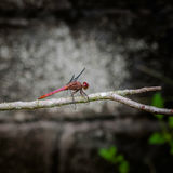 Red dragonfly insect resting on twig closeup macro square.  Stock Images