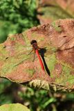 Red dragonfly. The red dragonfly is an insect which makes the feeling of the season et in autumn a tradition Stock Image