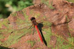 Red dragonfly. The red dragonfly is an insect which makes the feeling of the season et in autumn a tradition Royalty Free Stock Image