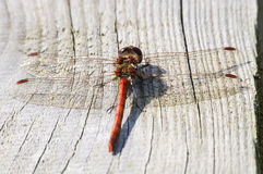 Red dragonfly isolated on wooden board royalty free stock photo
