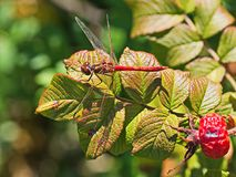 Red dragonfly landed on shiny green leaves. For resting short time royalty free stock images