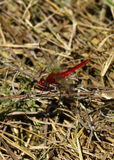 Red Dragonfly. Large red dragonfly flying around the water in the Okavango Delta in Botswana Royalty Free Stock Image