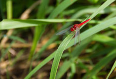 Red dragonfly on leaf green grass. Red dragonfly on leaf green grass in nature background Royalty Free Stock Image
