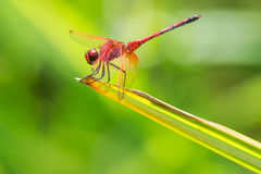Red dragonfly on leaf Royalty Free Stock Photos