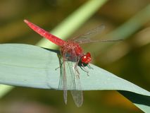 Red Dragonfly, Leaf, Wetland Royalty Free Stock Photo