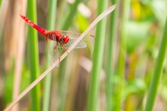 Red dragonfly looking at the camera and green Stock Photos