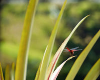 Red dragonfly on lush green tropical plants Stock Image
