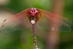 Red Dragonfly Macro Stock Image