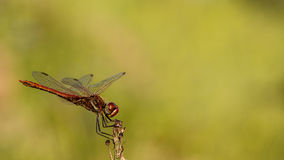 Red Dragonfly. Macro shot of red dragonfly Stock Photo
