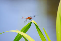 Red dragonfly Royalty Free Stock Photo