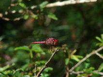 Red dragonfly in natural habitat Royalty Free Stock Photos