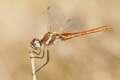 Red dragonfly outdoor Royalty Free Stock Photography