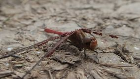 Red dragonfly with parasites Stock Images