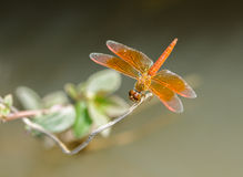 Red dragonfly perched on a branch above the pond. Stock Image