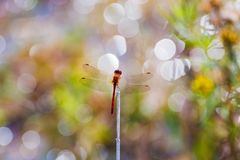 A red dragonfly perched on a stick stock image