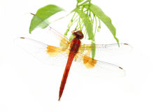 Red dragonfly perching on green leaf Royalty Free Stock Images