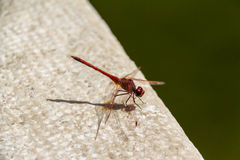 Red dragonfly. Photo of a red red dragonfly standing still near water Royalty Free Stock Image