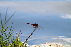 Red dragonfly by pond Stock Photo