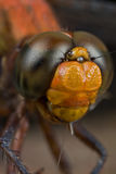 Red dragonfly portrait shot Stock Images