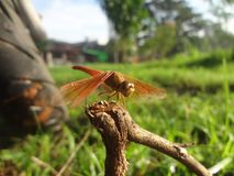 Red dragonfly. Alight  at dead branch Royalty Free Stock Photo