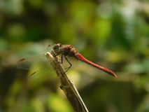 Red Dragonfly. Dragon fly is very useful insect it Reduces malaria and dengue by destroying the larvae of mosquito Stock Photos