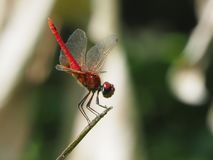 Red dragonfly. In garden on morning Royalty Free Stock Image