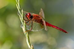 Red Dragonfly. A red dragonfly green bud of grass Royalty Free Stock Photography