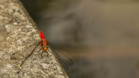 Red dragonfly. Resting on the concrete edge Royalty Free Stock Photography