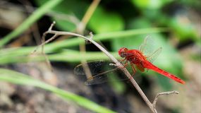 Red dragonfly. On rice fields in Vietnam Stock Images