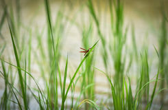 Red dragonfly. On rice plant In the rice fields Stock Images