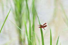 Red dragonfly. On rice plant In the rice fields Royalty Free Stock Images