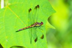 Red dragonfly. Sitting on a leaf Royalty Free Stock Image