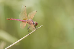 Red dragonfly. Resting on a bamboo canan Royalty Free Stock Image
