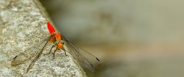 Red dragonfly. Resting on the concrete edge Stock Images