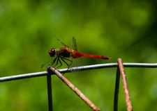 The red dragonfly posing in the sun royalty free stock photo