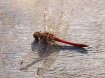 Red dragonfly resting on an old wooden surface Royalty Free Stock Photos