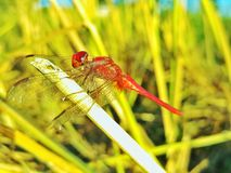 Red Dragonfly Resting on the Rice Stubble After Rice Harvesting. A red dragonfly is resting in the field royalty free stock image